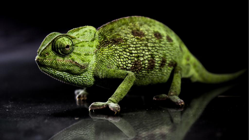 camaleonte verde